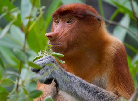 2D1N Bako National Park - Proboscis Monkey