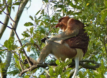 Semporna Proboscis Monkey + Mongroves Cruise + Fireflies